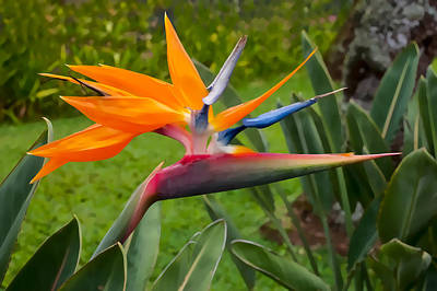 Photograph - Bird Of Paradise by Dan McManus
