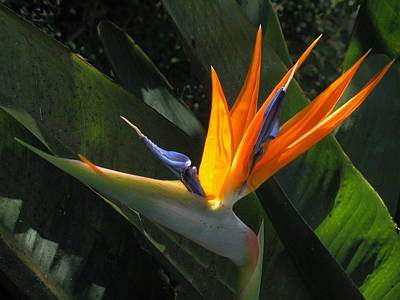 Photograph - Bird Of Paradise by Derek Dean