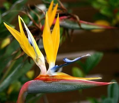Photograph - Bird Of Paradise Flower by Phoenix De Vries