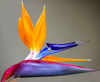 Art Print featuring the digital art Bird Of Paradise Flower by Photographic Art by Russel Ray Photos