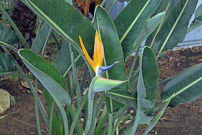 Photograph - Bird Of Paradise Flower by Tony Murtagh