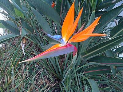 Photograph - Bird Of Paradise by George Pedro