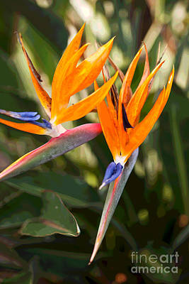 Photograph - Bird Of Paradise In Flower by Anthony Morgan
