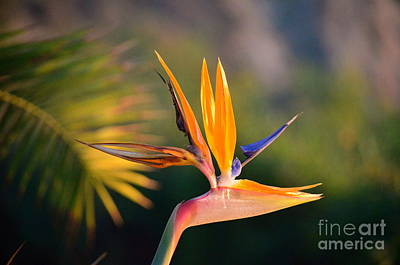 Photograph - Bird Of Paradise by Johanne Peale