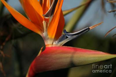 Photograph - Bird Of Paradise - Ka Pule A Ka Haku - Maui Hawaii by Sharon Mau