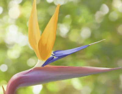 Photograph - Bird Of Paradise by Kim Swanson