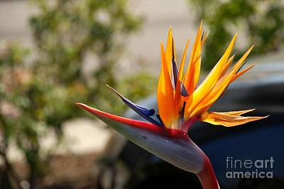 Bird Of Paradise Art Print by Leo Sopicki
