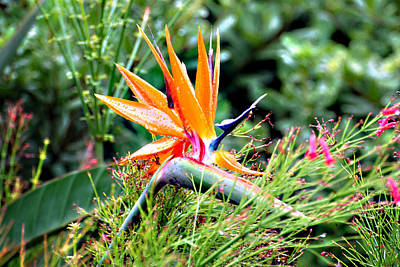 Photograph - Bird Of Paradise by Linda Cox