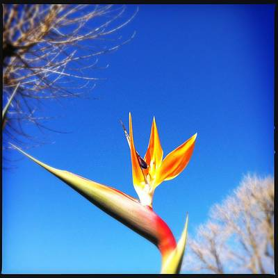 Photograph - Bird Of Paradise by Marco Oliveira