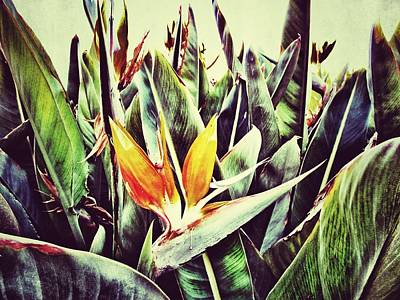 Strelitzia Photograph - Bird Of Paradise by Marianna Mills