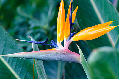 Photograph - Bird Of Paradise by Maureen E Ritter
