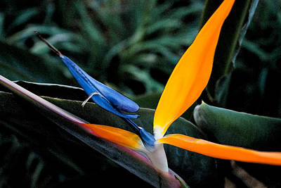 Photograph - Bird Of Paradise by Michael Porchik