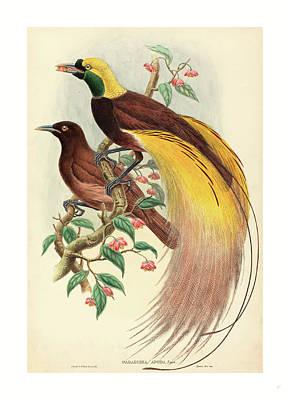 Paradise Drawing - Bird Of Paradise Paradisea Apoda, Published 1875 1888 by John Gould (1804-1881) And W. Hart (fl. 1851-1898), English (fl. 1851-1898), English