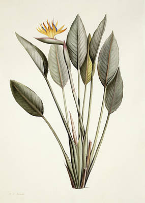 Ground Painting - Bird Of Paradise by Pierre Joseph Redoute