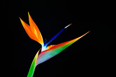 Digital Art - Bird Of Paradise by Ram Vasudev