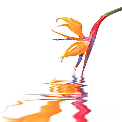 Strelitzia Photograph - Bird Of Paradise Reflections by Delphimages Photo Creations