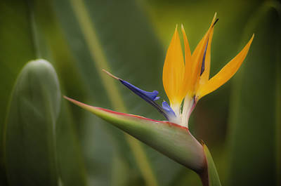 Photograph - Bird Of Paradise by Sherri Meyer
