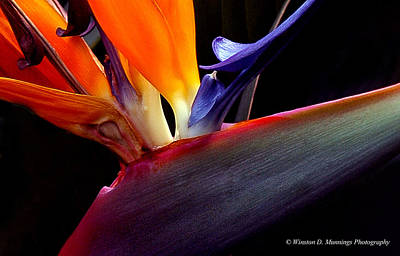 Bird Of Paradise - South African Native  Art Print
