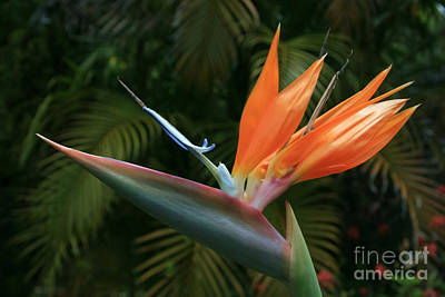 Flowers Of Hawaii Photograph - Bird Of Paradise - Strelitzea Reginae - Tropical Flowers Of Hawaii by Sharon Mau