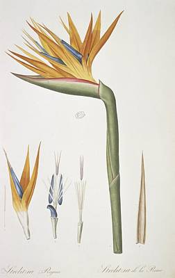 Bird-of-paradise (strelitzia Reginae) Art Print