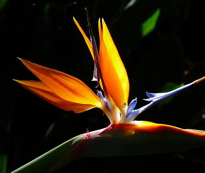 Photograph - Bird Of Paradise With Insect by Jeff Lowe