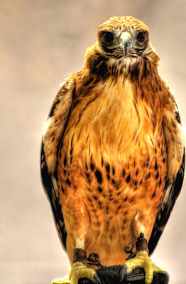 Jerry Sodorff Royalty-Free and Rights-Managed Images - Bird Of Prey 10525 by Jerry Sodorff