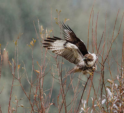 Red Tail Hawks Photograph - Bird Of Prey by Angie Vogel