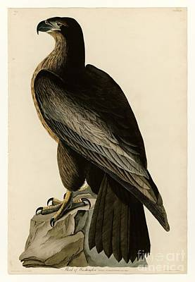 Drawing - Bird Of Washington by Celestial Images
