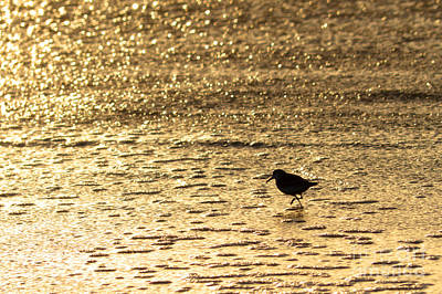 Photograph - Bird On A Golden Shore by Paul Topp