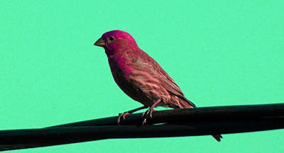 Photograph - Bird On A Wire 3 by Laurie Tsemak
