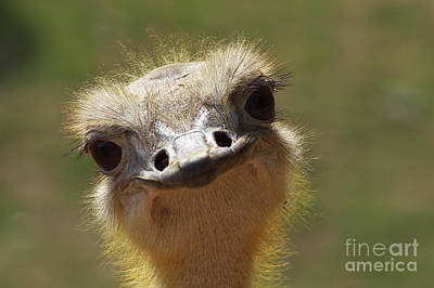 Ostrich Photograph - Bird Ostrich Portrait by Angela Doelling AD DESIGN Photo and PhotoArt