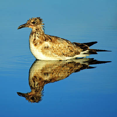 Photograph - Bird Reflection by Daniel Woodrum