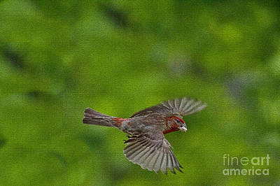 Art Print featuring the photograph Bird Soaring With Food In Beak by Dan Friend