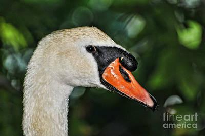 Bird Watcher Photograph - Bird - Swan - Mute Swan Close Up by Paul Ward