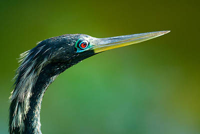 Photograph - Bird With Long Beak Or Bill Called Anhinga by Celso Diniz