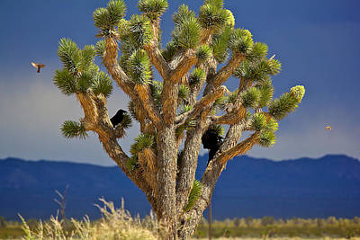 Photograph - Birds And The Joshua Tree by Joe Urbz