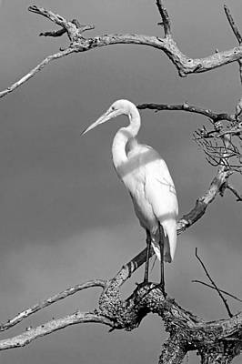 Photograph - Birds - Great Egret - Black And White by HH Photography of Florida