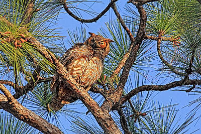 Photograph - Birds - Great Horned Owl by HH Photography of Florida