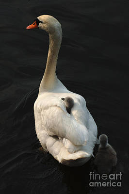 Swan Photograph - Birds Of A Feather Stick Together by Bob Christopher