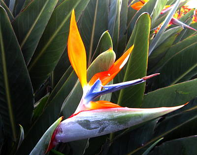 Amazing Stories Photograph - Birds Of Paradise by Ange Sylvestri