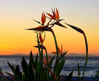 Photograph - Birds Of Paradise by Johanne Peale