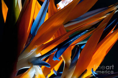 Birds Of Paradise Art Print by Todd Edson