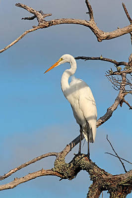 Photograph - Standing Tall - Birds - Great Egret by HH Photography of Florida
