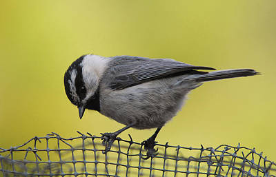 Photograph - Birdseed Bandit by Donna Blackhall