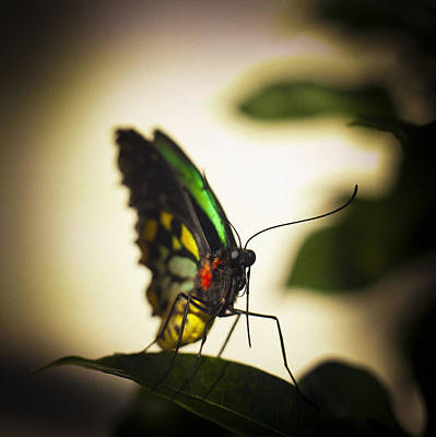 Birdwing Butterfly Art Print by Bradley R Youngberg
