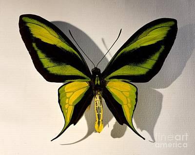 Birdwing Butterfly Ornithoptera Art Print