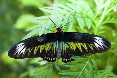 Birdwing Butterfly Print by Scubazoo