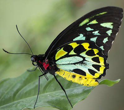 Photograph - Birdwing Butterfly by Sean Allen