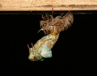 Birth Of A Cicada Art Print by Marcie Sutton