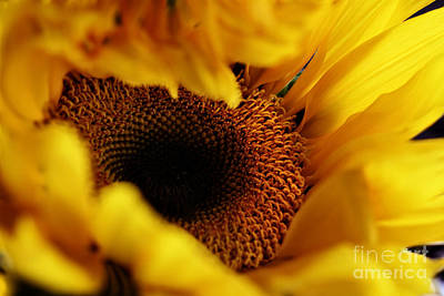 Birth Of A Sunflower Art Print by Stephanie Frey